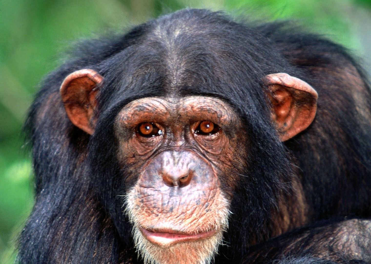 11 chimpanzee Top 10 List of Exotic Pets