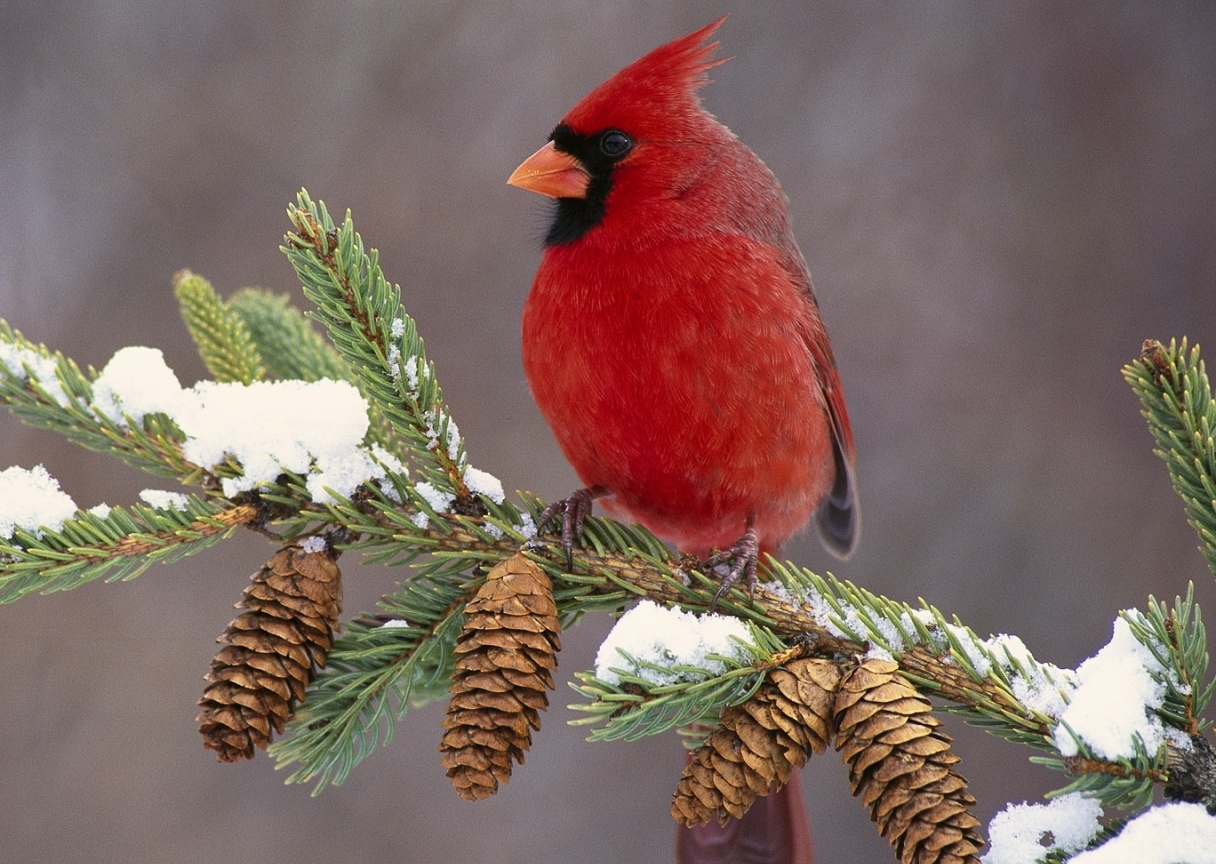 and then later on the red birds were named cardinals