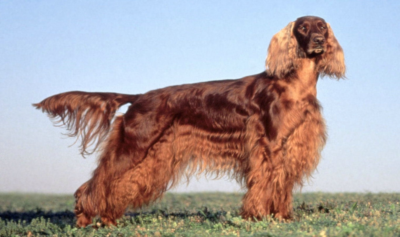 irish setters pictures