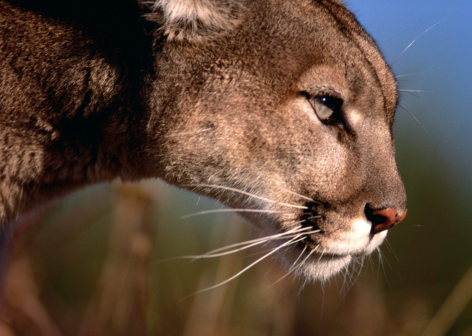 Mountain lions contribute to the richness and complexity of Colorado ...