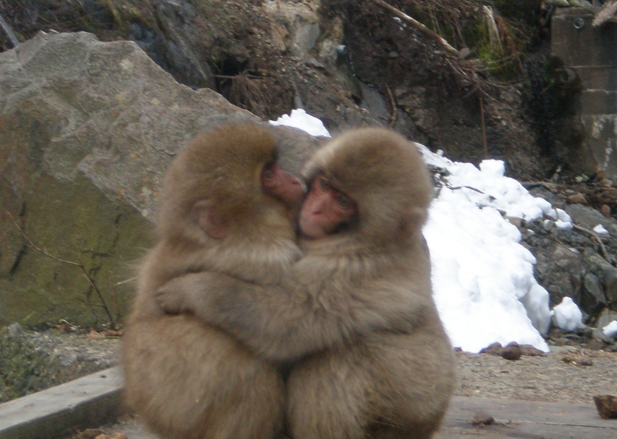 "... : ""Monkeys, Monkeys, Everywhere!"" Best Snow Monkey shots this winter"