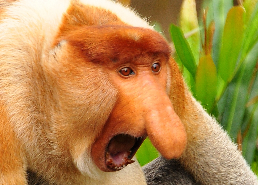 proboscis monkey pictures