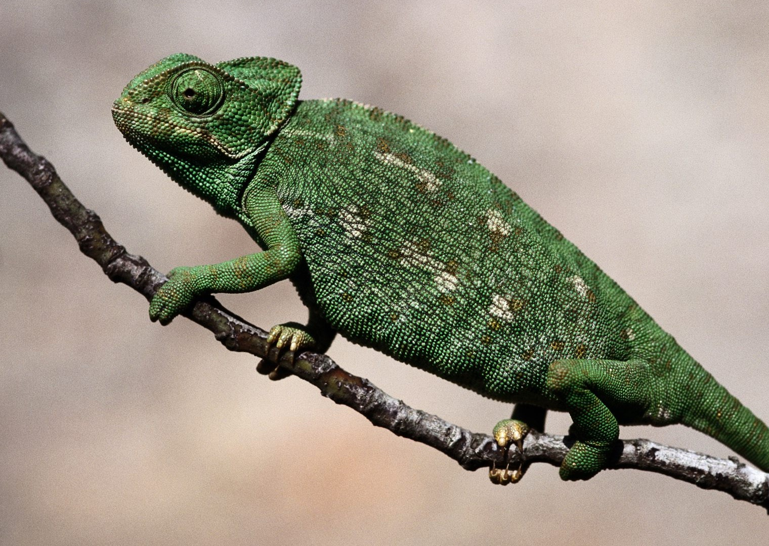 Chameleon | The Biggest Animals Kingdom