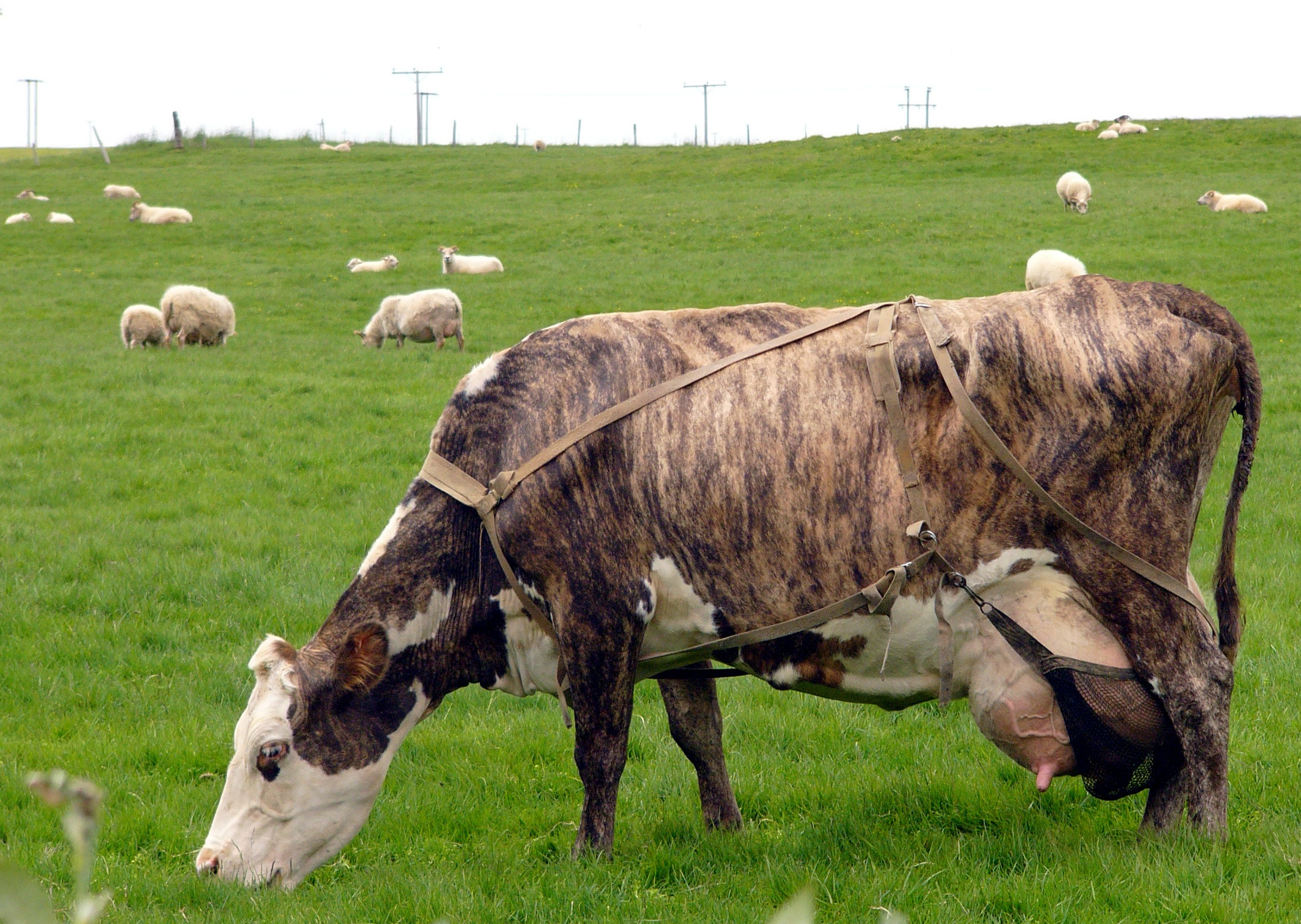 File:Cow in Iceland.jpg - Wikipedia, the free encyclopedia