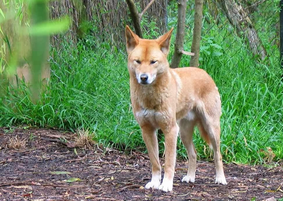 Dingo Animals | Latest Facts & Pictures | All Wildlife Photographs