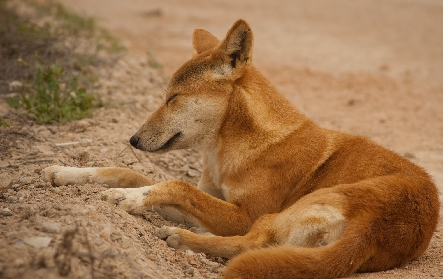 Dingo | The Life of Animals