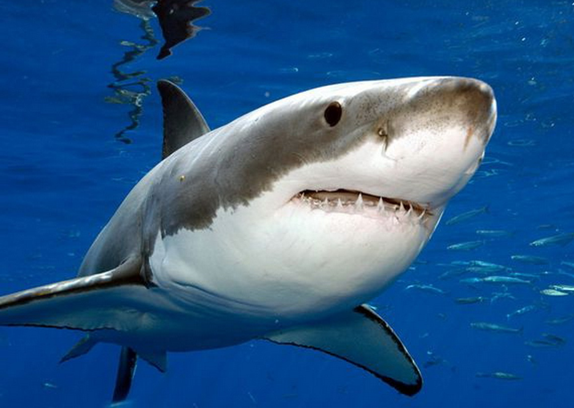 animal wildlife great white shark great white sharks white shark are ...