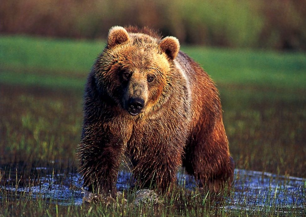Wild Life Animal: Grizzly Bear is Active Animal