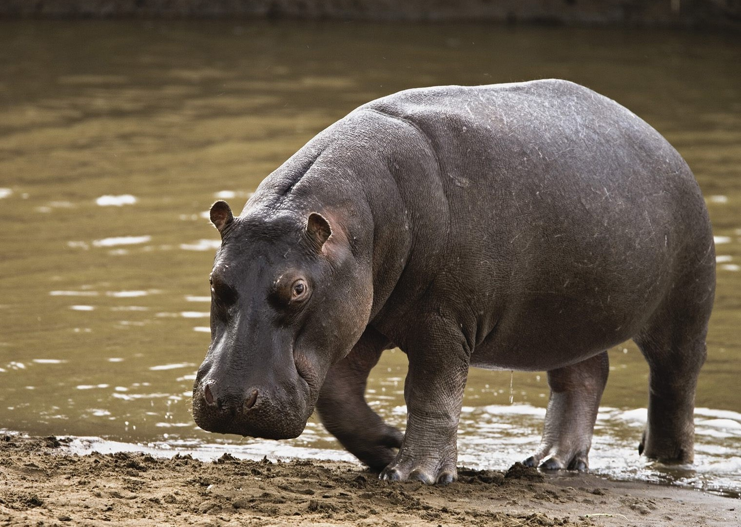 Hippo Foot Facts