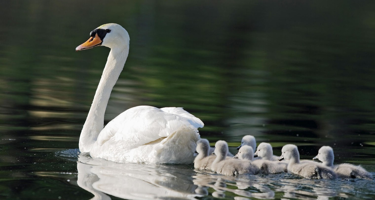mother-swan-with-young-swans-hd-animal-wallpaper-swans.jpg