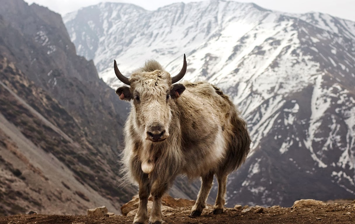 pictures of yaks