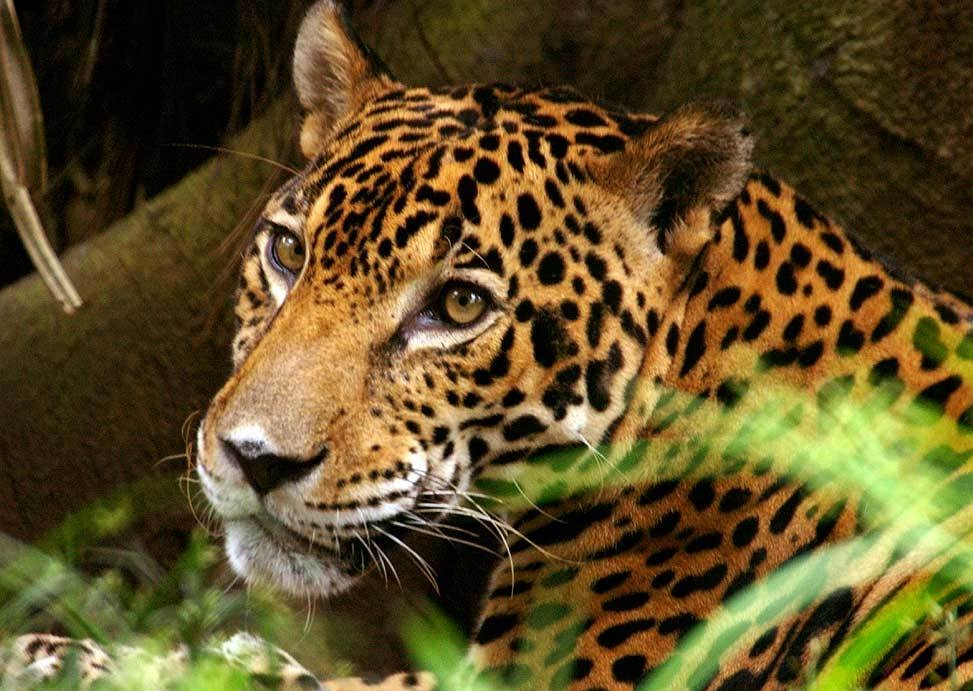 Jaguar - Jaguars Photo (16915296) - Fanpop