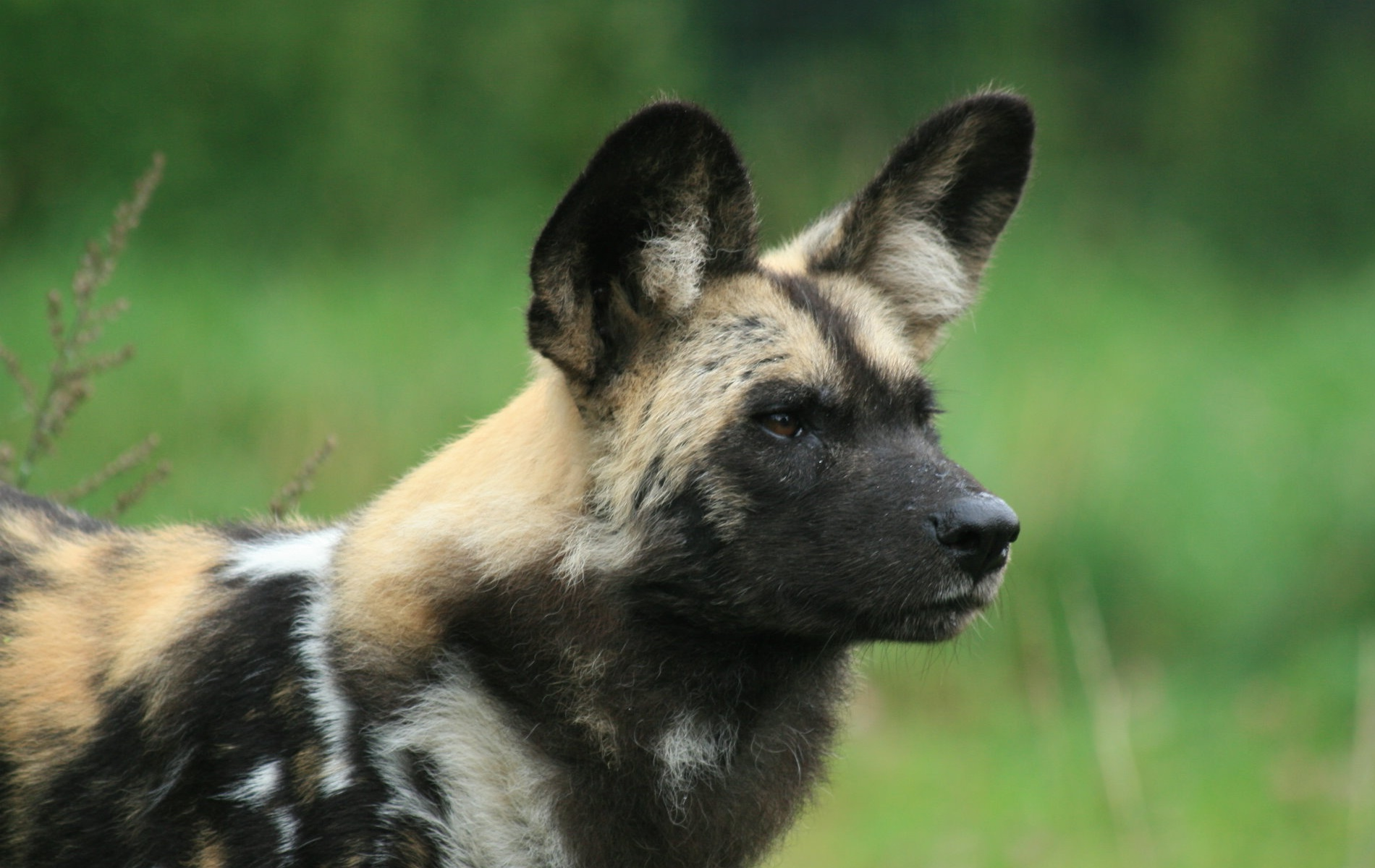 African Wild Dog - Animals Photo (13127775) - Fanpop
