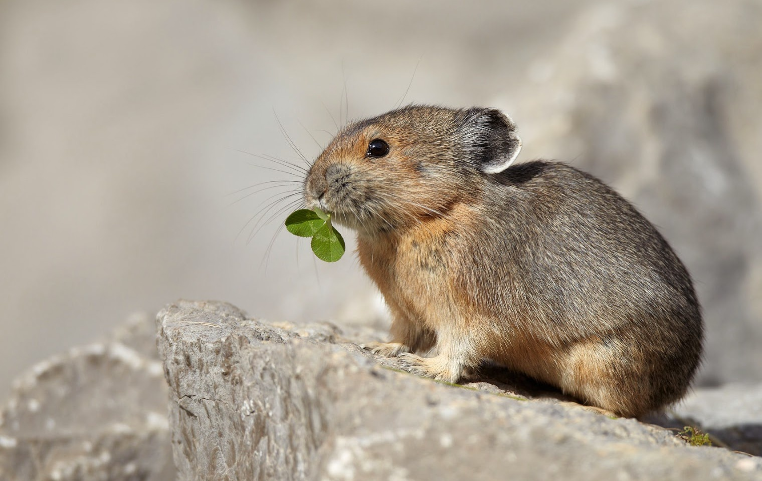Pika Cute Animals | Interesting Facts & Latest Pictures | All Wildlife ...