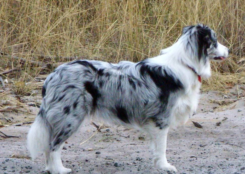 Blue Merle Border Collie - Dogs Wallpaper (12892924) - Fanpop
