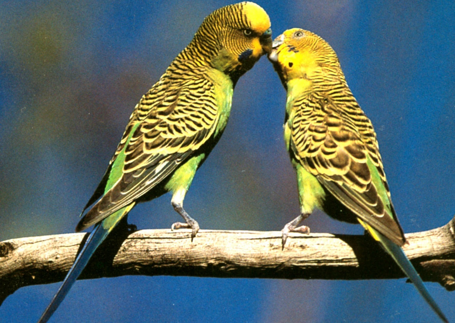 Budgerigar | The Life of Animals