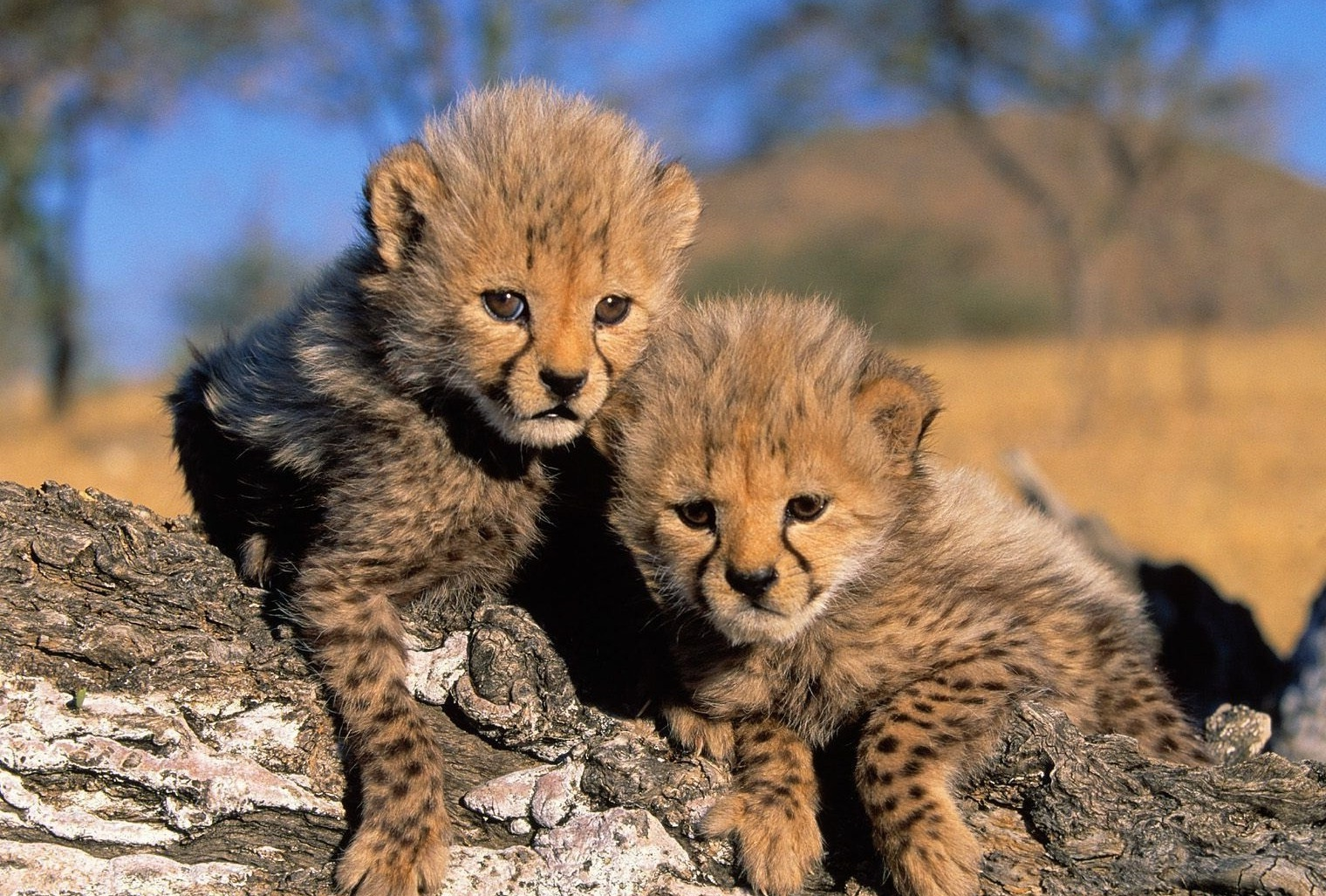 cute cheetahs pictures