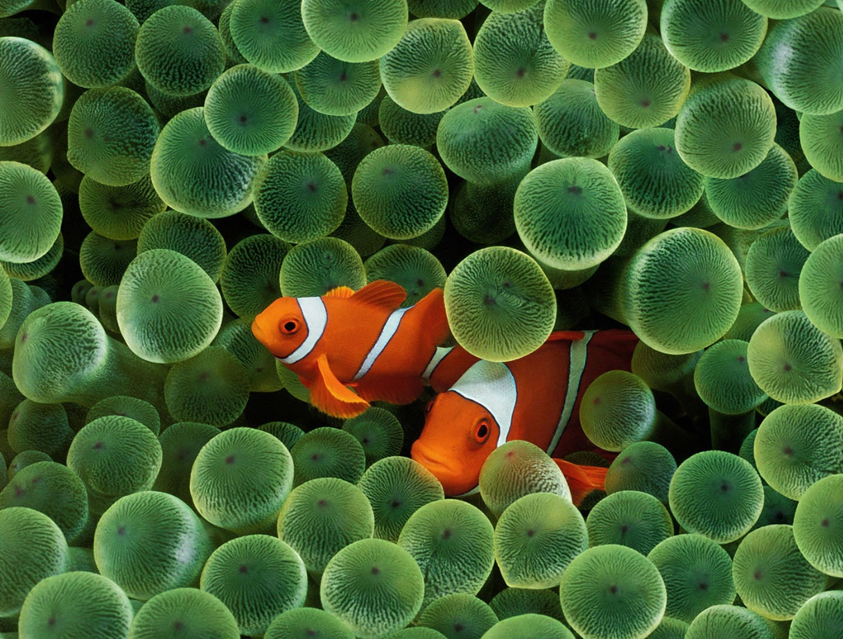 picture of clown fish