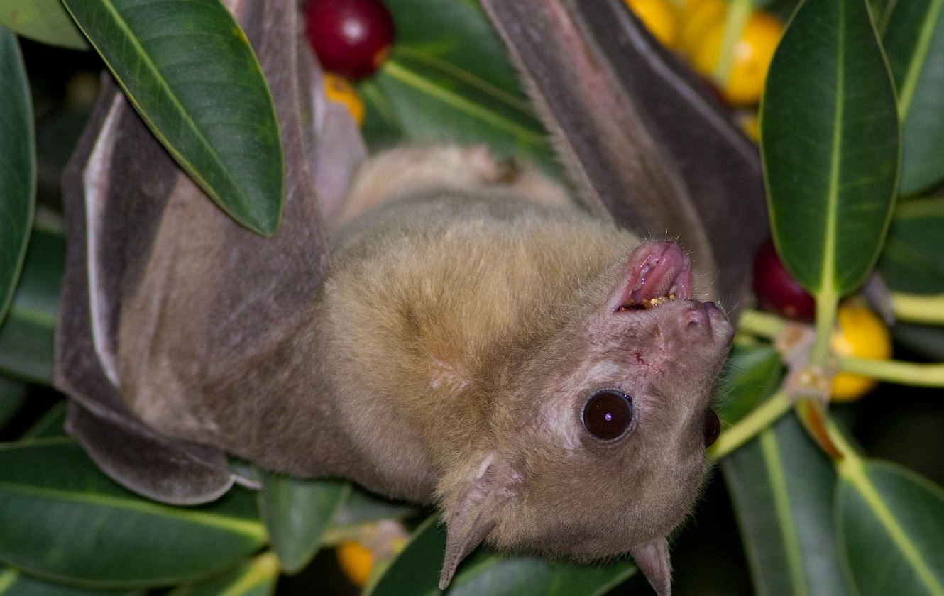 pictures of fruit bats
