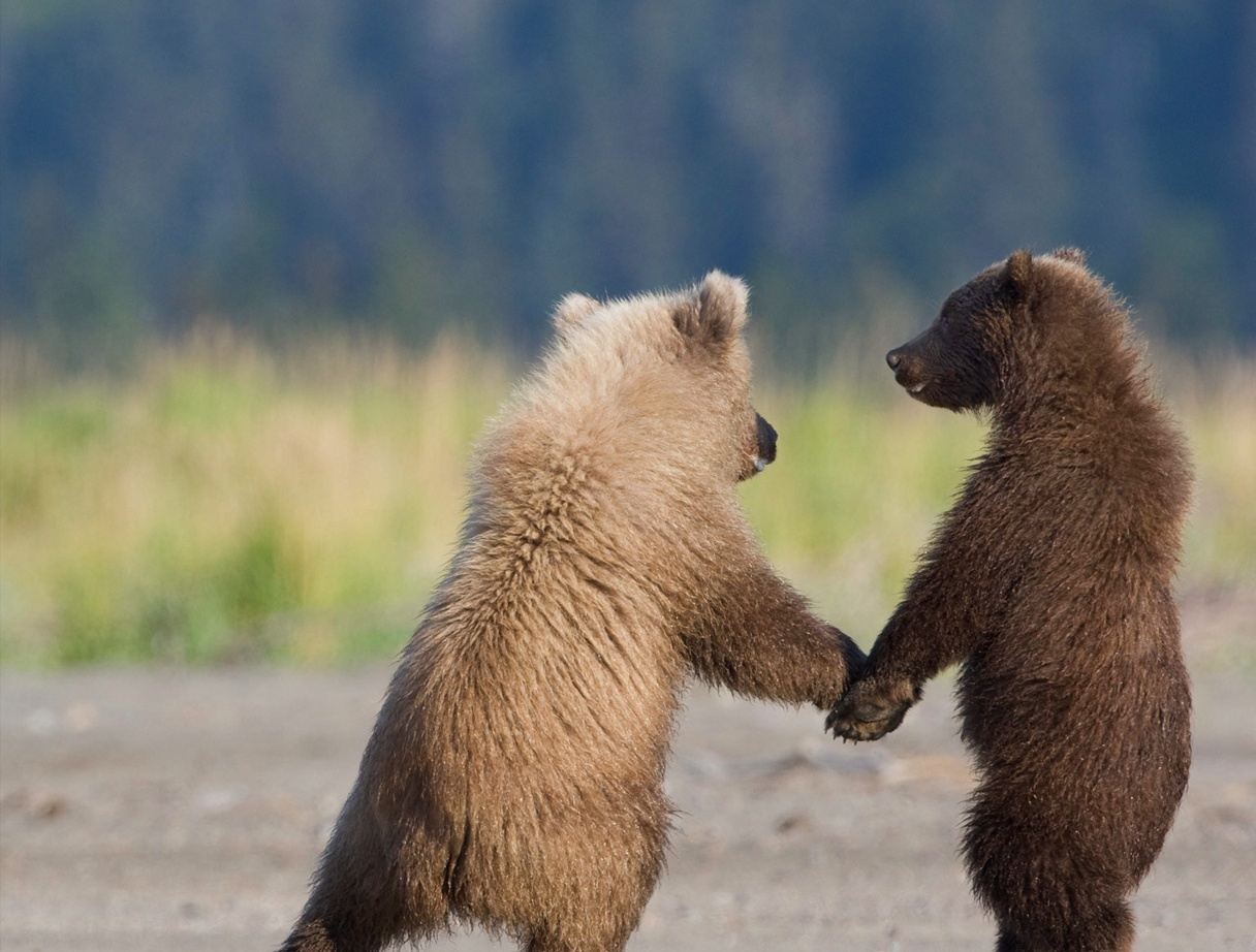 pictures of baby grizzly bears