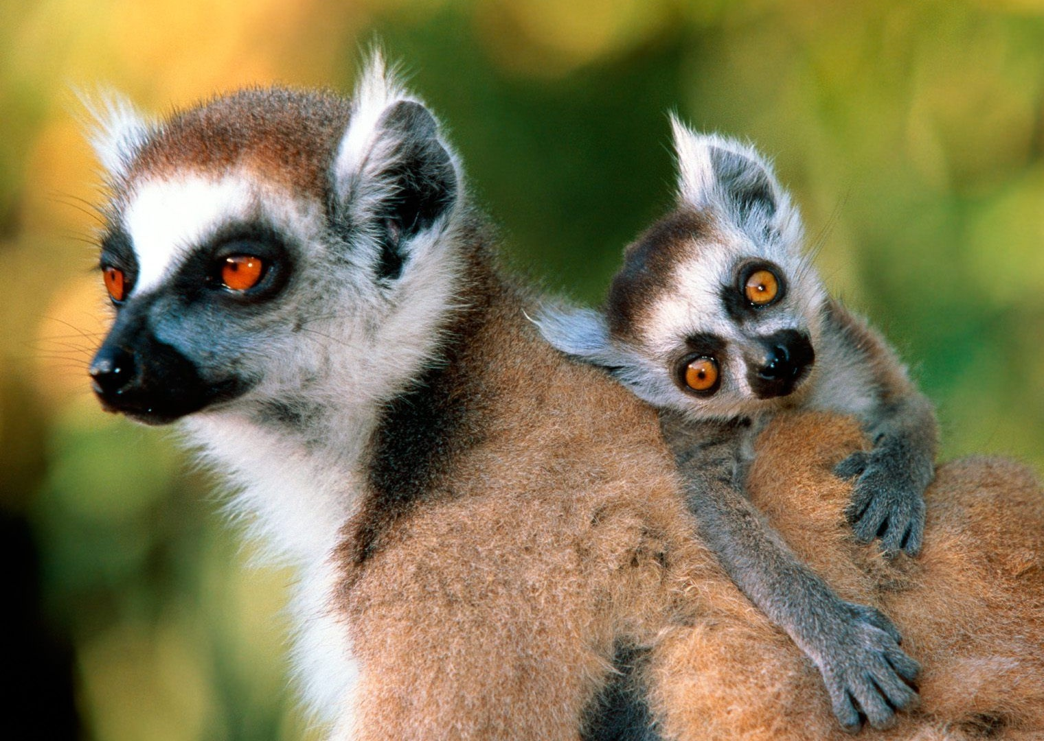 types of lemurs with pictures