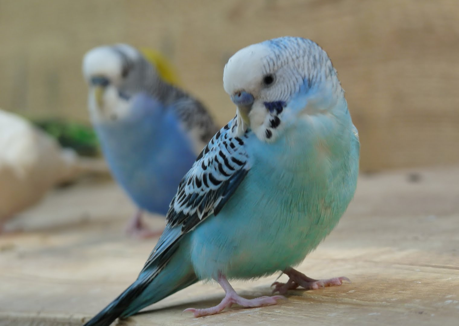 description of 6 budgerigar hd widescreen wallpaper 6 budgerigar ...