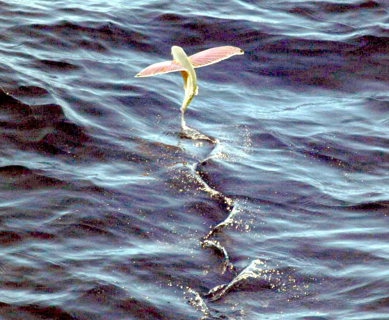 So, how long can a flying fish fly for?