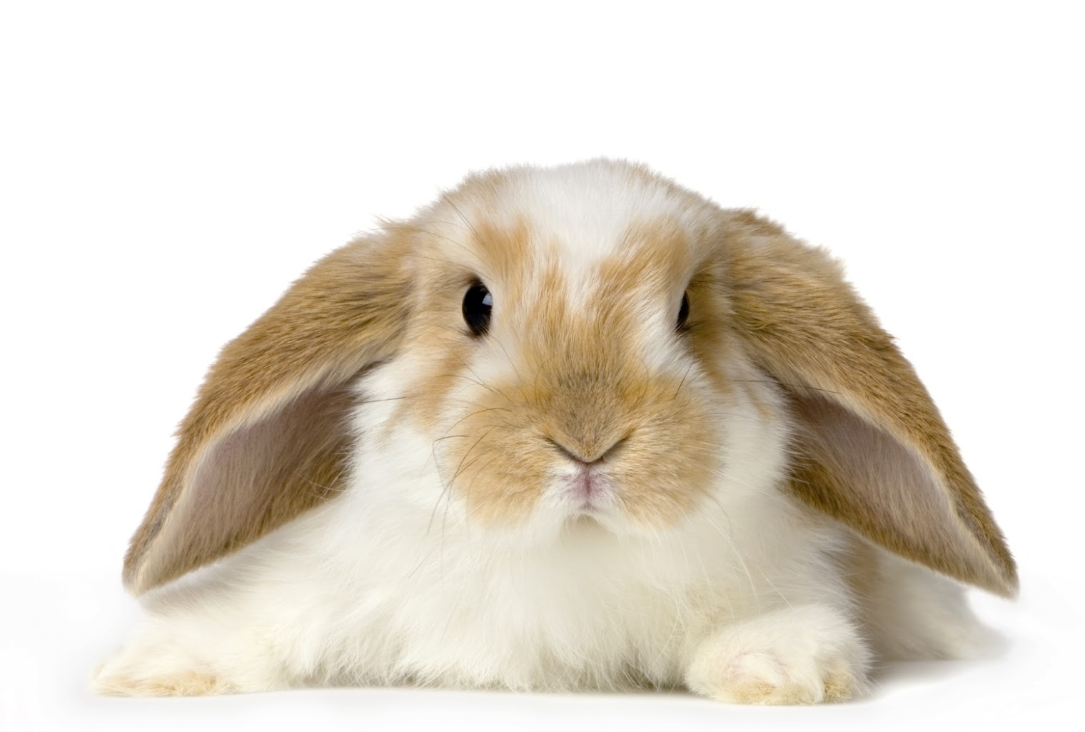 pictures of pet rabbits