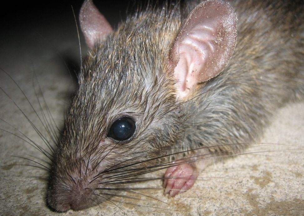 Rat | Endangered Animals Facts, Wildlife Pictures And Videos