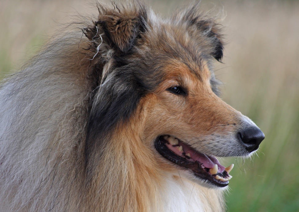 pictures of collie dogs