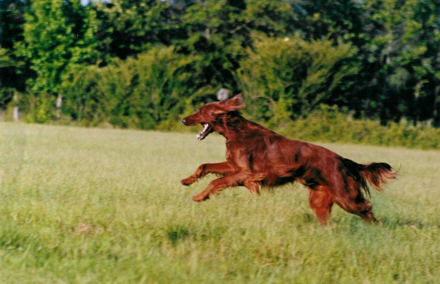 pictures of red setters