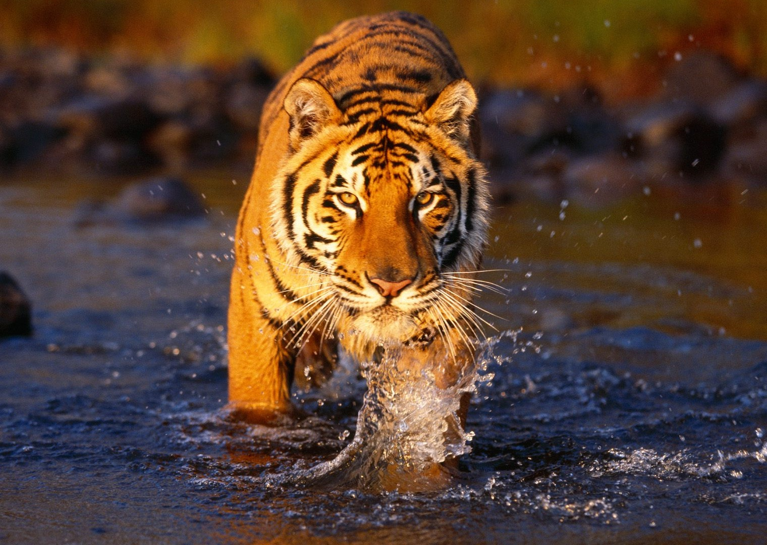 tiger-wallpapers-desktop-HD-photo-images-9.jpg