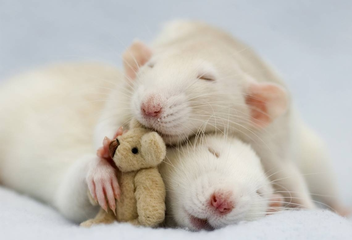 adorable rat pictures 4 e1295687813194 Cute Rat Pictures by Jessica ...