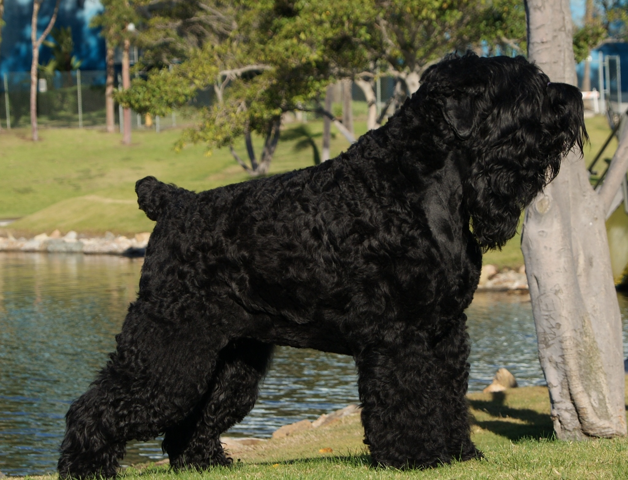 Black Russian Terrier | Hd Wallpapers Download