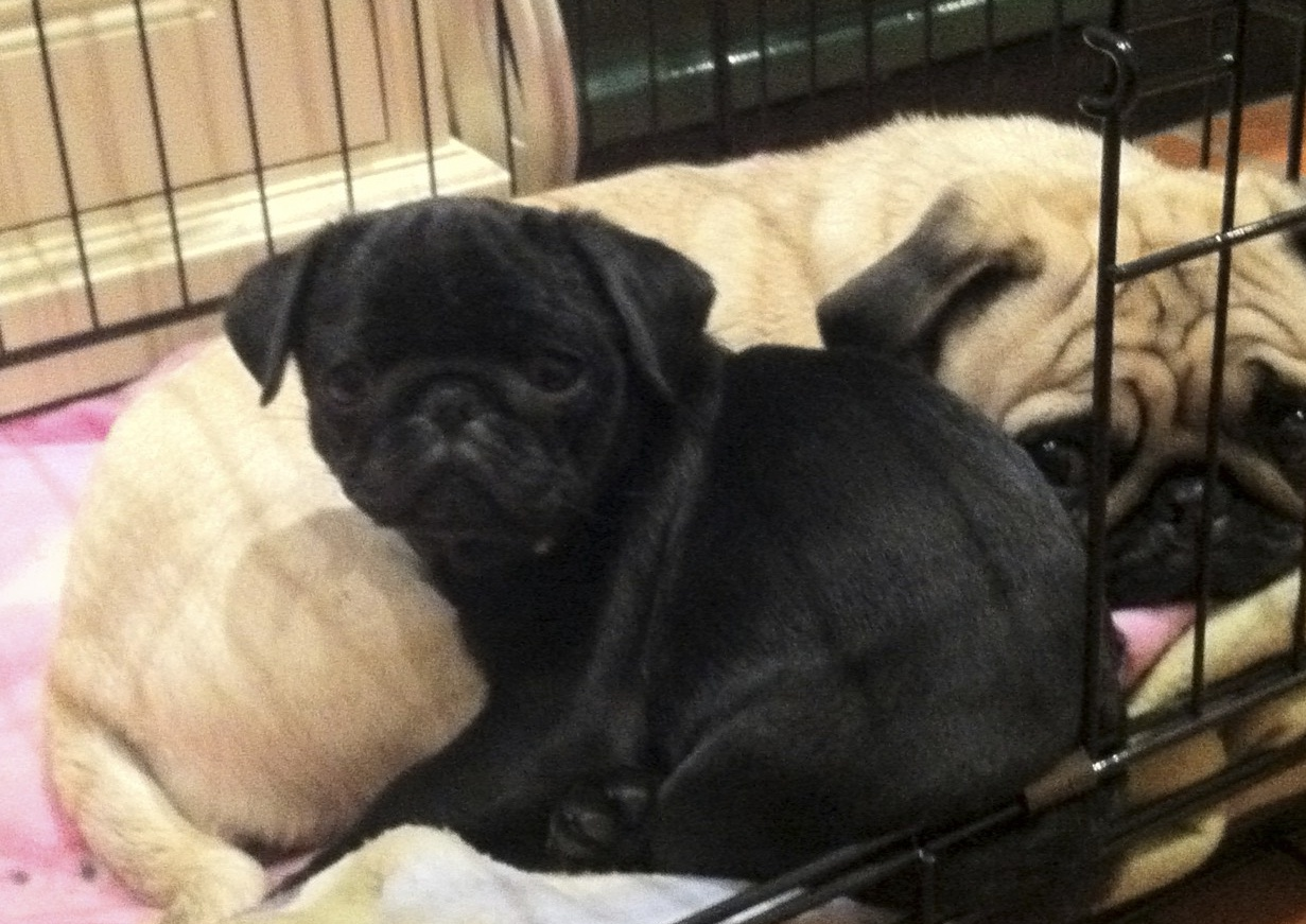 Black Pugs Sharing the cage next to the