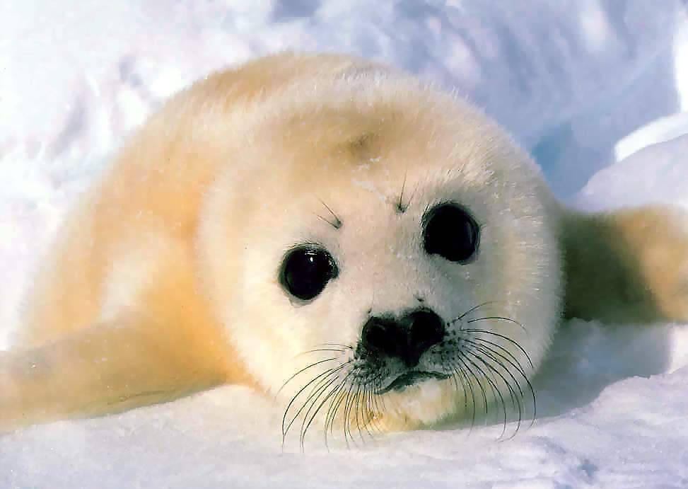 wildaboutanimals: Harp Seal