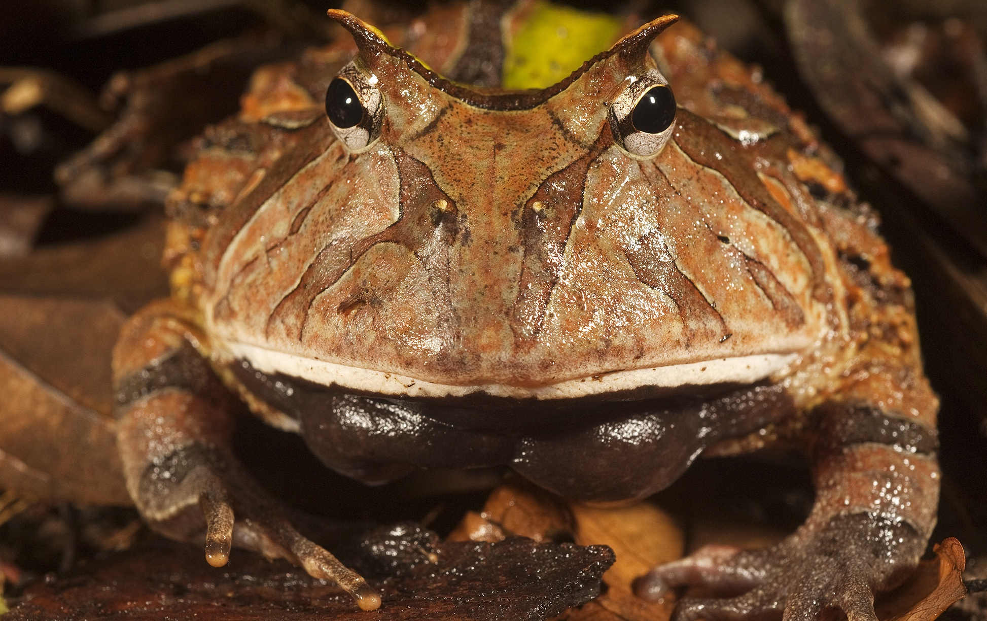 An Amazon horned frog in Guyana's Iwokrama Rainforest Reserve ...