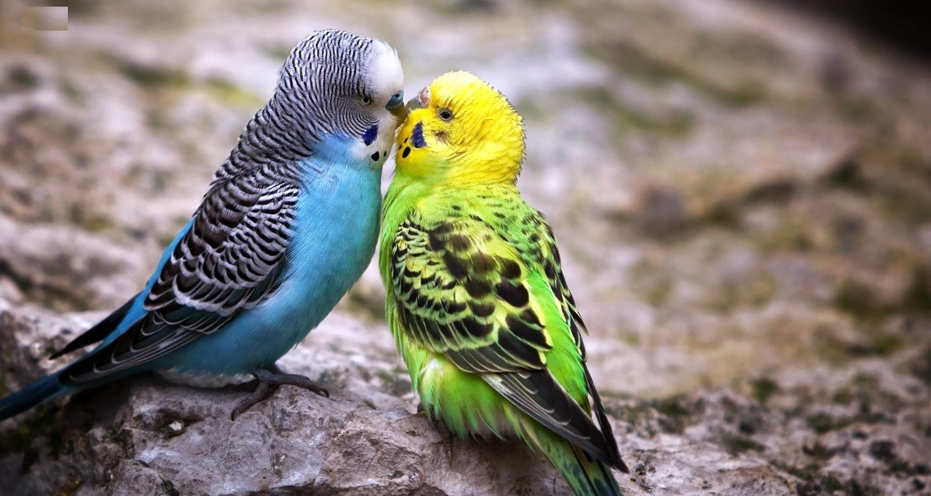 Budgerigar Desktop Wallpaper | Budgerigar Images | Cool Wallpapers