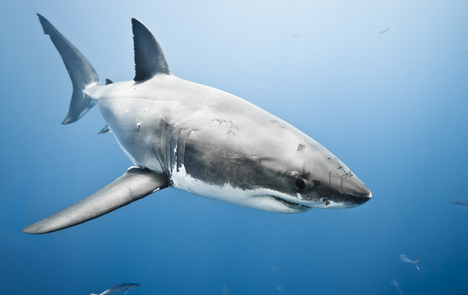 ... Answered: Biggest Great White Shark | National Geographic (blogs