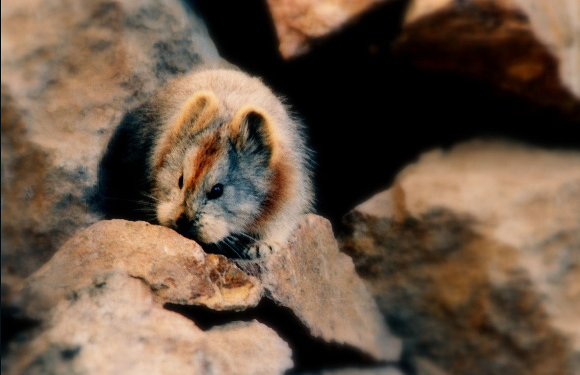 This Rare Ili Pika AKA 'Magic Rabbit' Was Spotted For The First ...