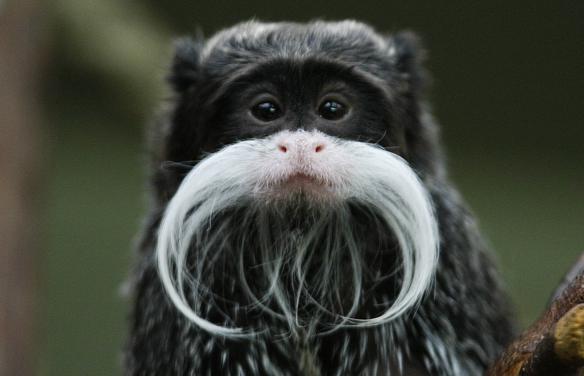 An emperor tamarin is seen at the zoo in Stuttgart, Germany, in 2010 ...