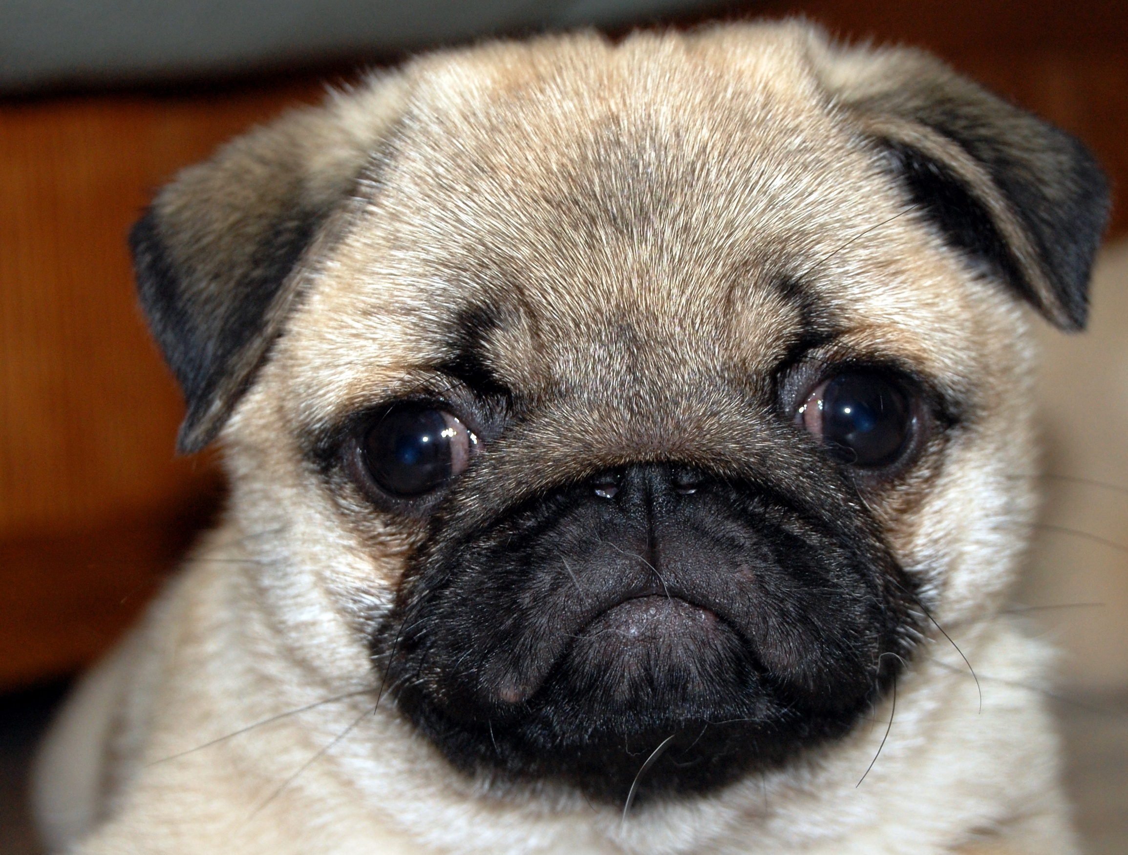 pictures of cute pugs