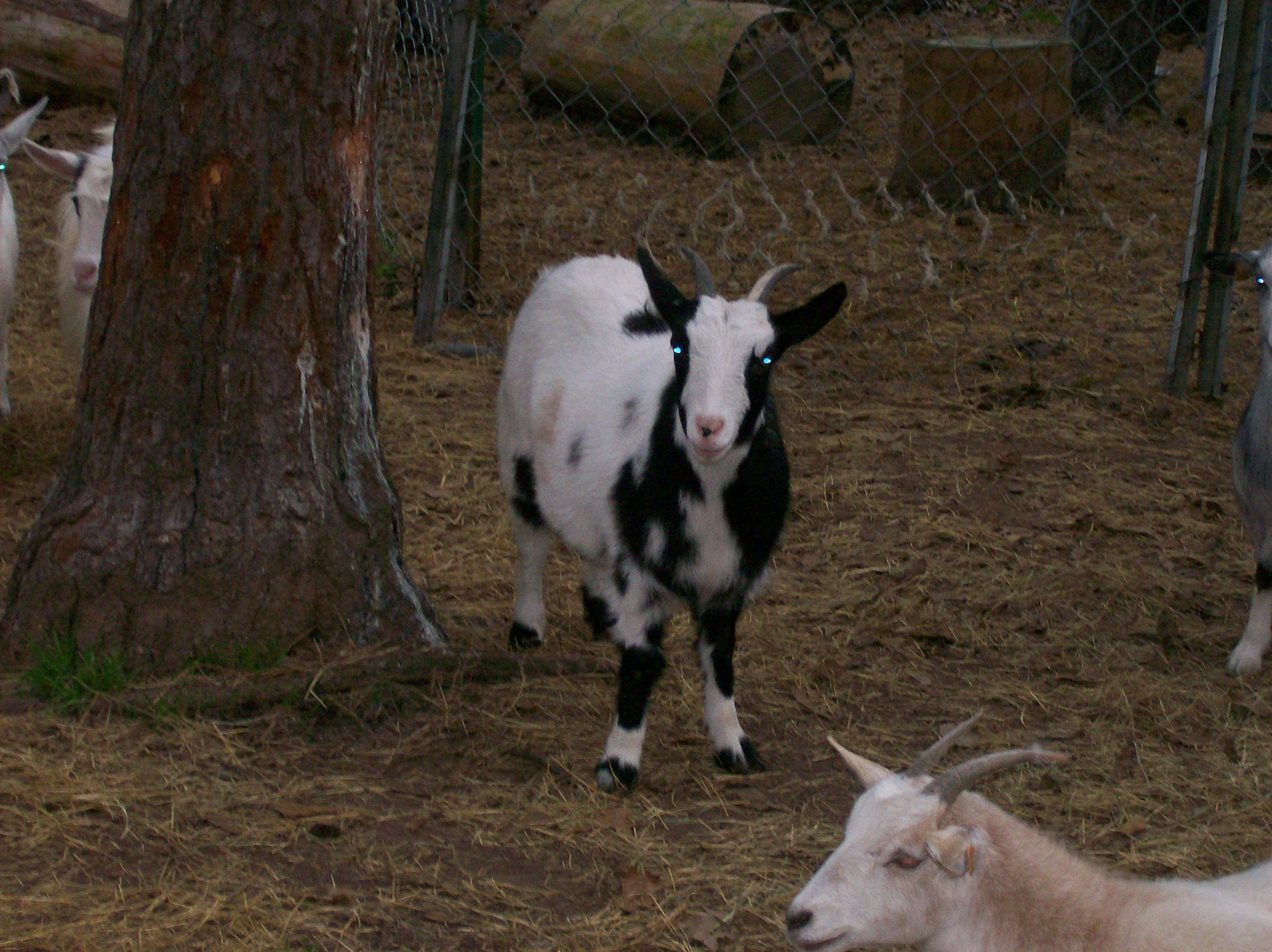 Goat breed 101: Fainting goats
