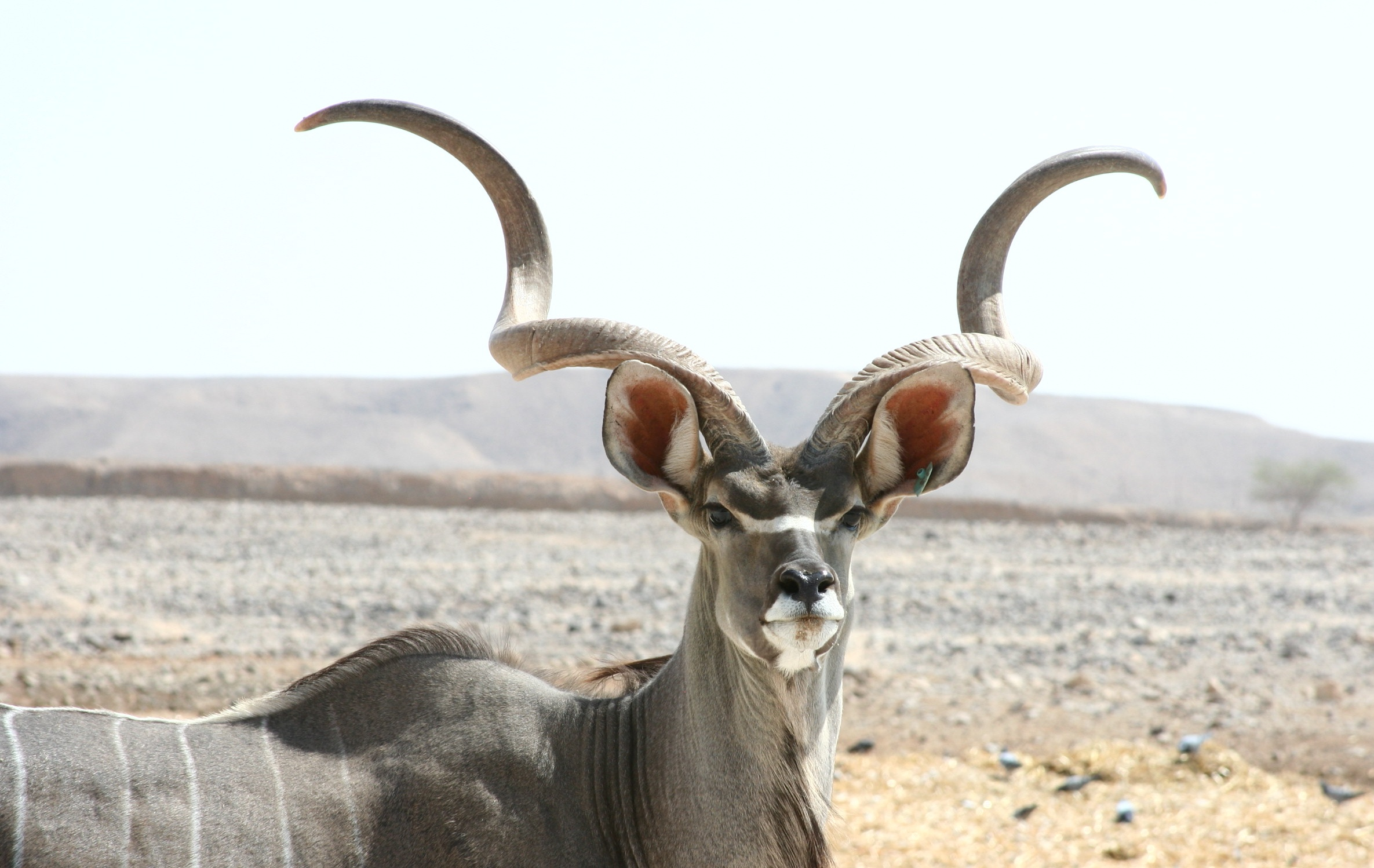 picture of kudu