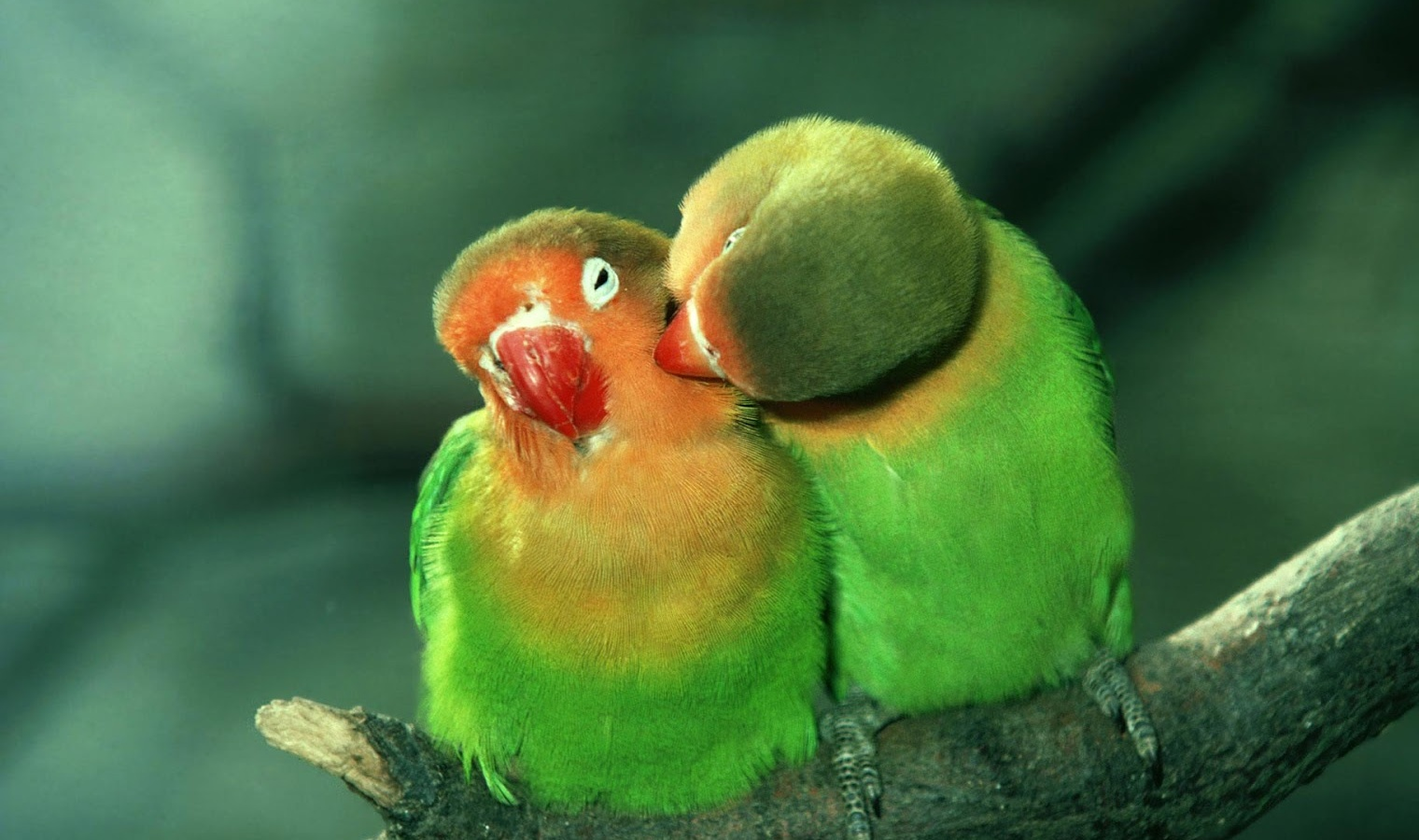 Love birds Information|Lovebirds|Lovebird Species|Lovebird ...