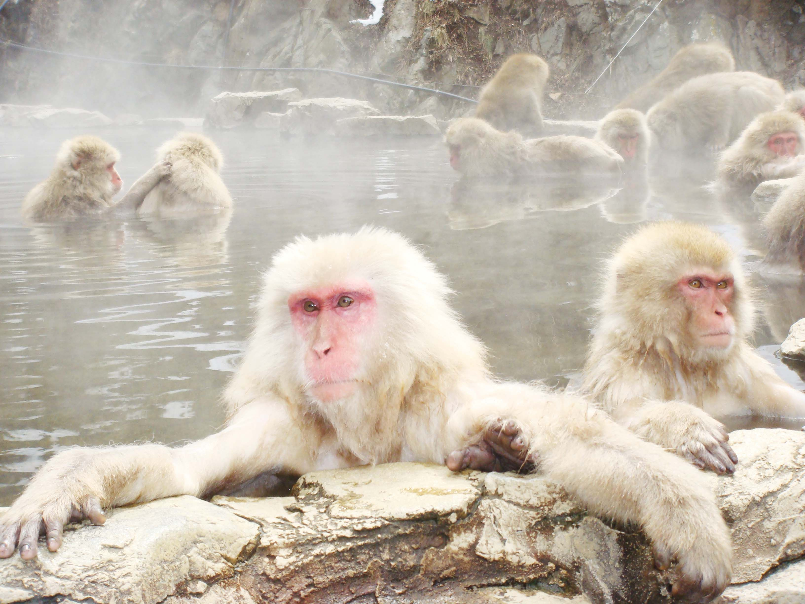 Snow monkeys enjoy the onsen at Jigokudani Monkey Park in Shiga Kogen ...