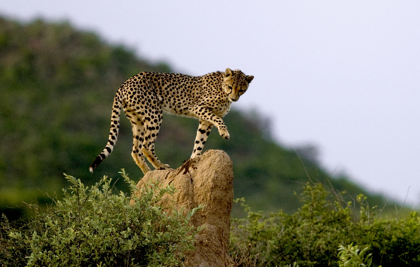 Cheetahs Habitat Cheetah on termite mound,