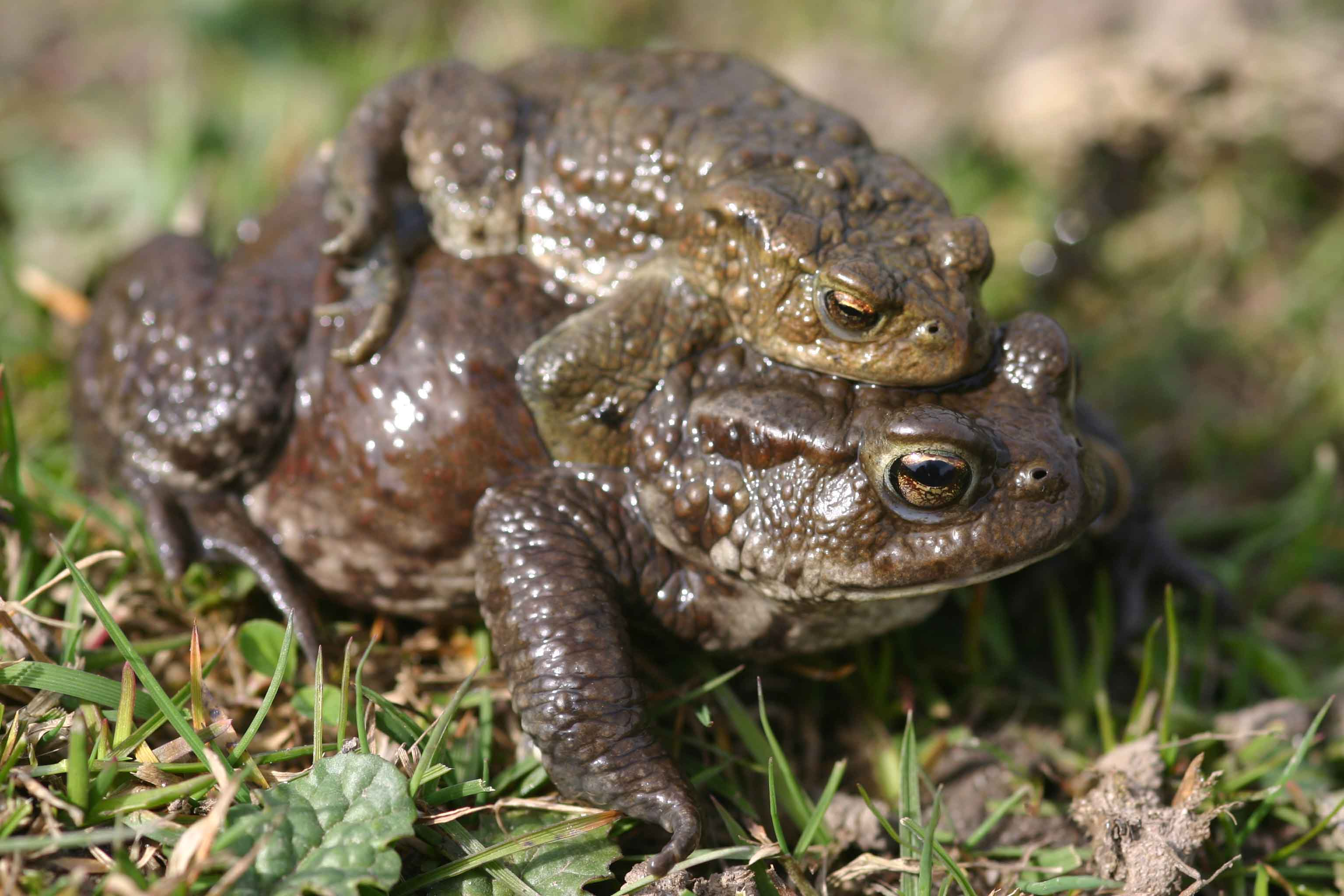 Toad walk :-) | The European Amphibian & Reptile Blog