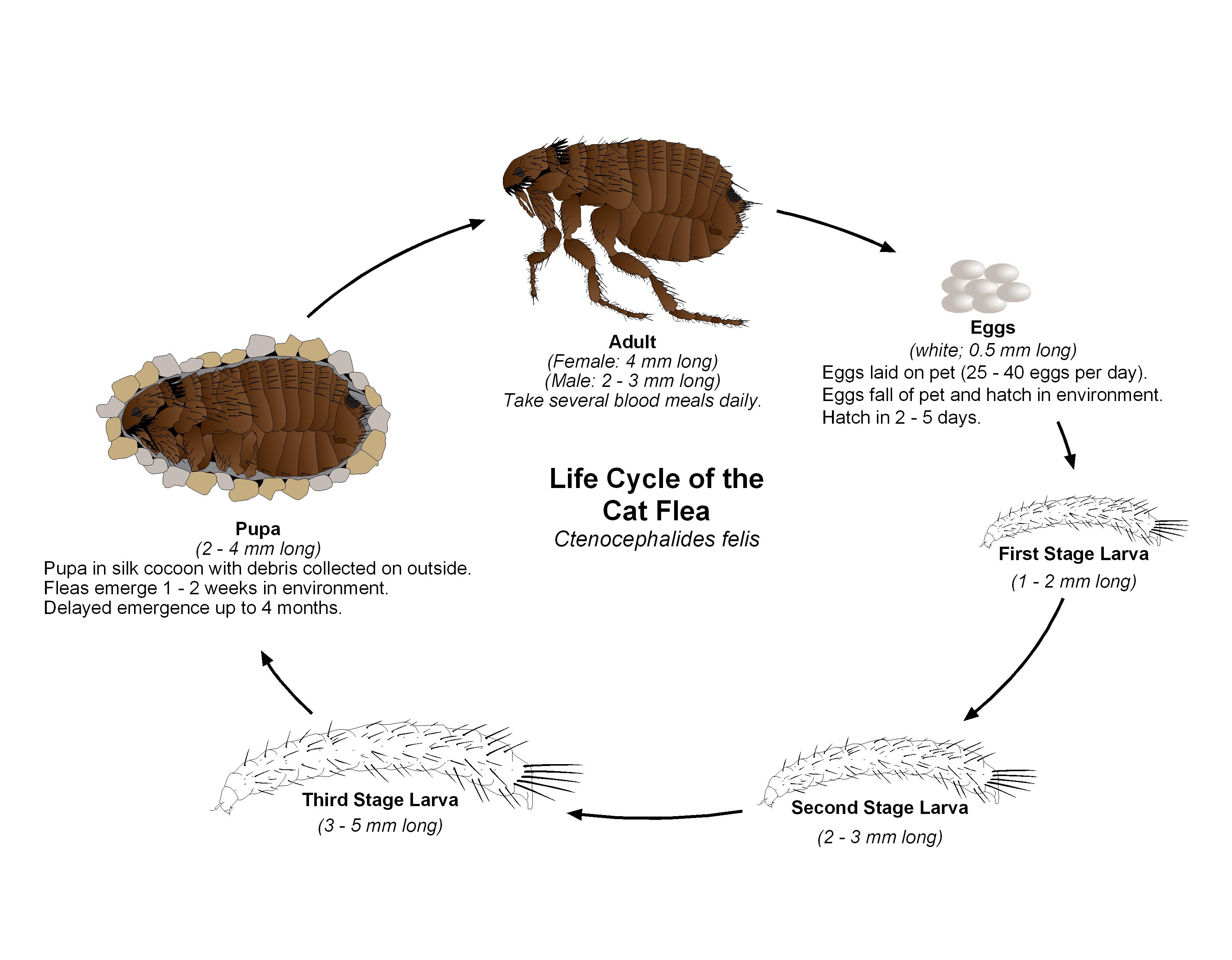 Fleas are small, dark brown or reddish brown, from 1 to 4 mm long ...