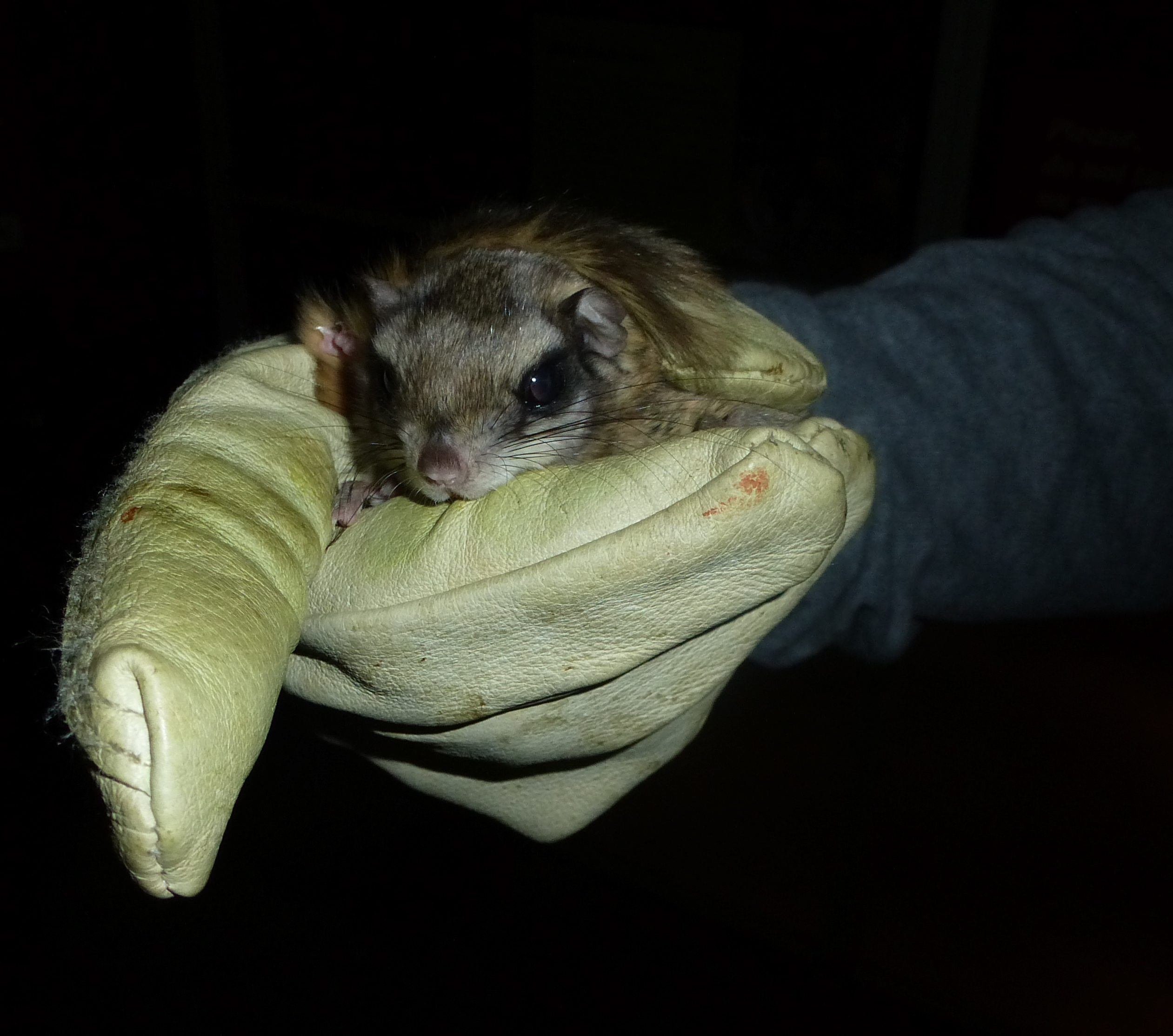 BatGuys LLC - Bat Removal, Squirrel Removal and Nuisance Flying squirrel poop pictures